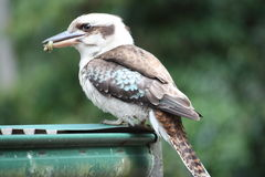 Hungry kookaburra. Kookaburra eating insect on tin roof Royalty Free Stock Image