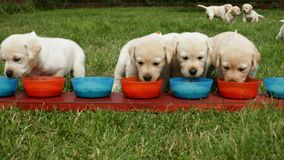 Hungry labrador puppies running to the feeding bowls