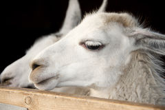 Hungry Lama. Two hungry Lama's looking over a gate for food Stock Photo