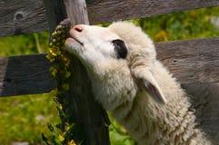 Hungry lamb Royalty Free Stock Image