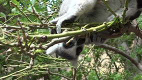 Hungry lemur eating in tree stock video