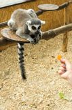 A hungry lemur. Lemurs are fed from the hands. Royalty Free Stock Photos