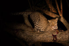 Hungry leopard eat dead prey in tree at night Royalty Free Stock Photos