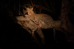 Hungry leopard eat dead prey in tree at night Stock Photography