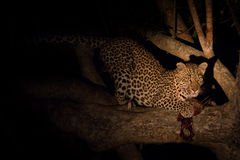 Hungry leopard eat dead prey in tree at night Stock Images