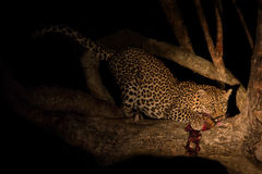 Hungry leopard eat dead prey in tree at night Royalty Free Stock Photo
