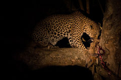 Hungry leopard eat dead prey in tree at night Royalty Free Stock Photography