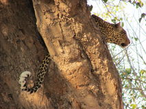 A Hungry Leopard. A leopard stalks his nearby prey from the comfort of his tree Royalty Free Stock Photos