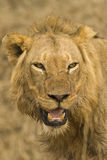 Hungry Lion royalty free stock photos