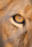 Hungry lion. You can paint in pupil everything you want stock photography