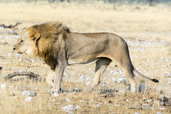 Hungry lion Stock Photography