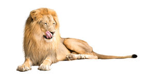 Hungry Lion Licking Lips Stock Photos