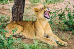 Hungry lion in Tarangire Park, Tanzania Stock Photos