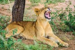 Hungry lion in Tarangire Park, Tanzania Stock Photos