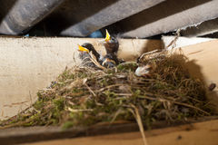 Hungry litlle birds in the nest Stock Photography