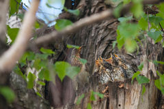 Hungry little birds in nest on tree Royalty Free Stock Photos