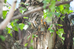 Hungry little birds in nest on tree Stock Photos
