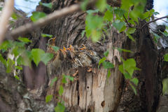 Hungry little birds in nest on tree. Hungry little birds in a nest on a tree Stock Photos