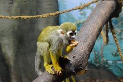 Hungry monkey. Hungry little monkey Royalty Free Stock Photo