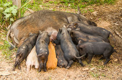 Hungry little pigs Stock Image