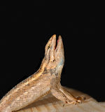 Hungry Lizard. A hungry lizard ready to eat and standing on wood Stock Image