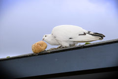 Hungry lone white dove with bread Royalty Free Stock Photos