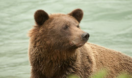 Alaska Brown Bear closeup Royalty Free Stock Images