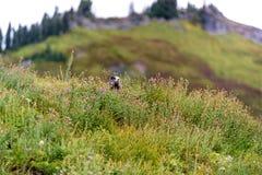 Marmot on Patrol royalty free stock photos