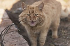 Hungry mewing ginger cat. The pet has opened its mouth and wants food. Grin of cat`s teeth royalty free stock image