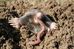 Hungry mole Stock Image