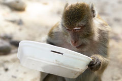 Hungry monkey Royalty Free Stock Images