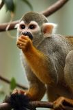 Hungry Monkey. Squirrel Monkey eating on a tree branch against a blurred background Royalty Free Stock Photography