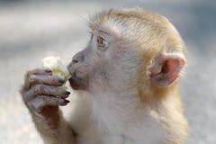 Hungry monkey eating banana. On Monkey mountain, Phuket royalty free stock photography