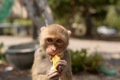Hungry monkey Stock Image