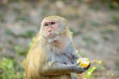 Hungry monkey Stock Photo