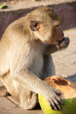 Hungry Monkey. The hungry monkey eating a delicious coconut and happy royalty free stock image