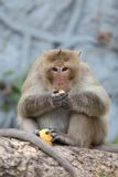 Hungry Monkey Stock Photography