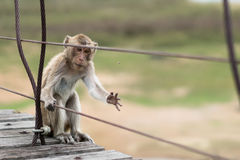 Hungry monkey, wounded animal, catching a fly to eat, hunger or survival concept Royalty Free Stock Photos
