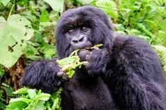 Hungry mountain gorilla royalty free stock photo