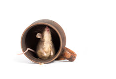 Hungry mouse in an empty cup Stock Photo
