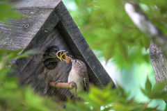 Hungry Mouths to Feed - Baby Birds in Birdhouse. Mother wren hanging on birdhouse perch while two hungry baby birds stick their heads out the small hole with Royalty Free Stock Photo