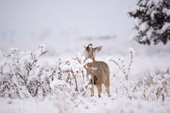 Hungry Mule Deer. This is a picture of a Mule deer looking for food in the winter time Royalty Free Stock Photo