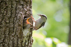 Hungry nestling ask for food from his parent. Wood nuthatch bring food for chicks in beak Stock Image