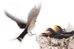 Hungry nestlings. Swallow nest with hungry nestlings,and feeding a flying swallow royalty free stock photo