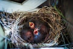 Newborn Birds in Nest royalty free stock image