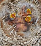Hungry Newborn Eastern Bluebirds Royalty Free Stock Image