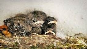 Hungry nightingale hatchlings in a nest stock video