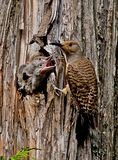 Hungry Northern Flicker Chicks Stock Image