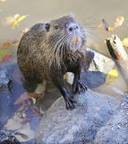 Hungry nutria Stock Photography