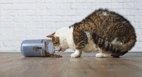 Hungry, old tabby cat eat food from a blue food container. Hungry, old tabby cat eat dry food from an open food container Stock Photos